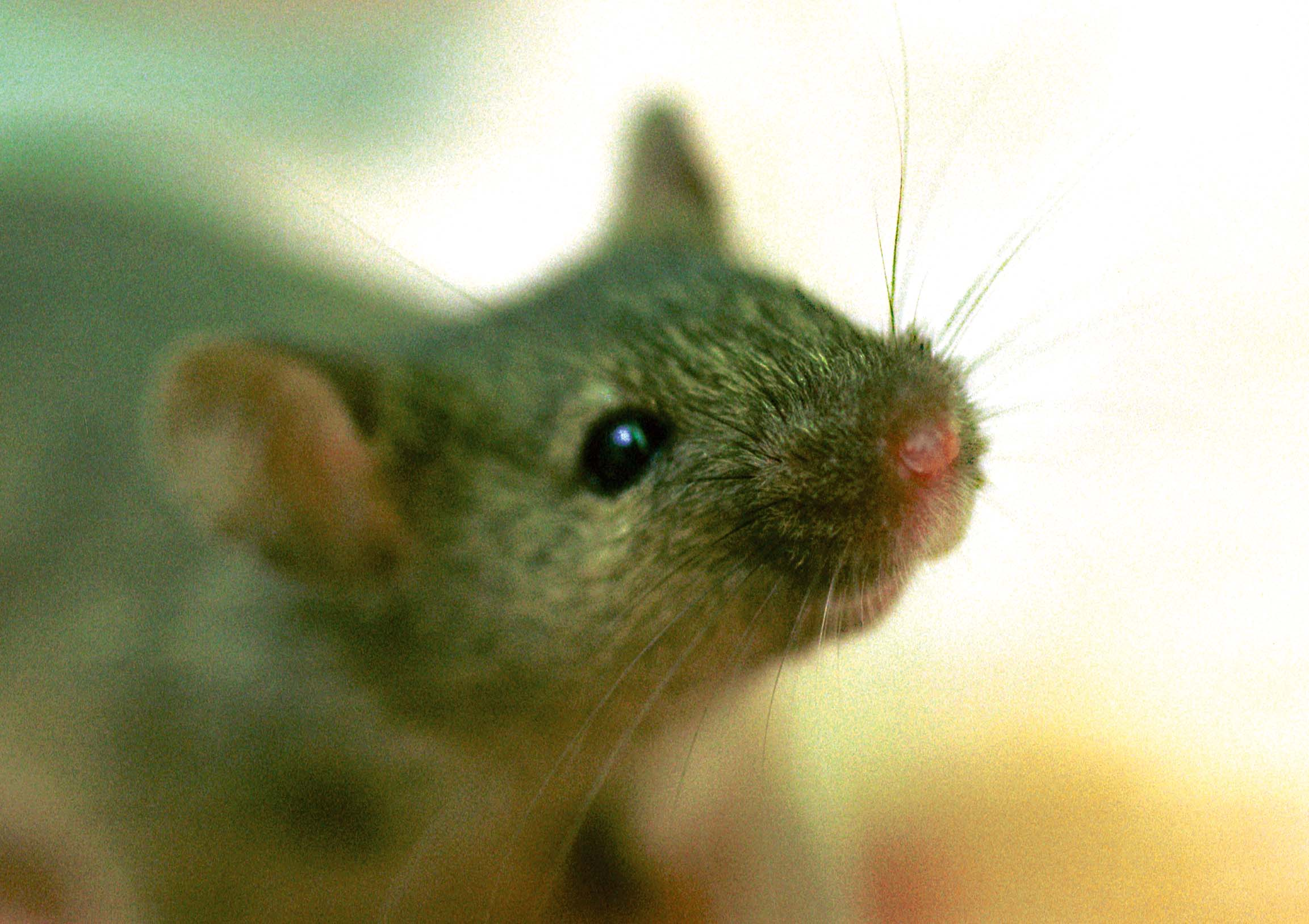 Cell Organ And Tissue Transplants Ariinfo Lab Grown Blood Successfully Experimented On A Human 04 06 15 Worlds First Rat Forelimb In