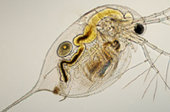 Daphnia species are commonly used in environmental toxicity tests.