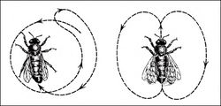 The round dance (left) and the waggle dance (right) describe how close nectar is and in which direction
