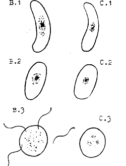 B.1 Male Crescent. C.1 Female Crescent. Male (B.2) and female (C.2) crescents change shape in the mosquito's stomach. Male crescent (B.3) throws off flagella, which fertilise the female crescent. Figure 4. Fertilisation of the female malaria parasite in the stomach of an anopheles mosquito