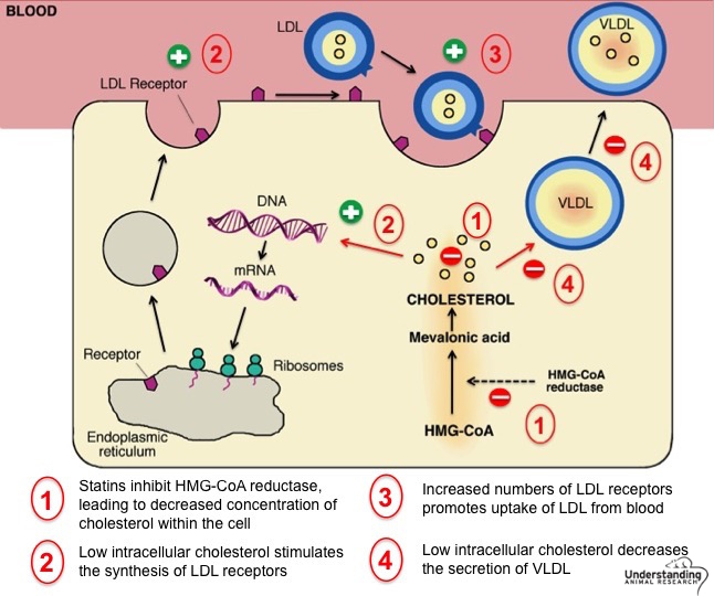statin mechanism of action