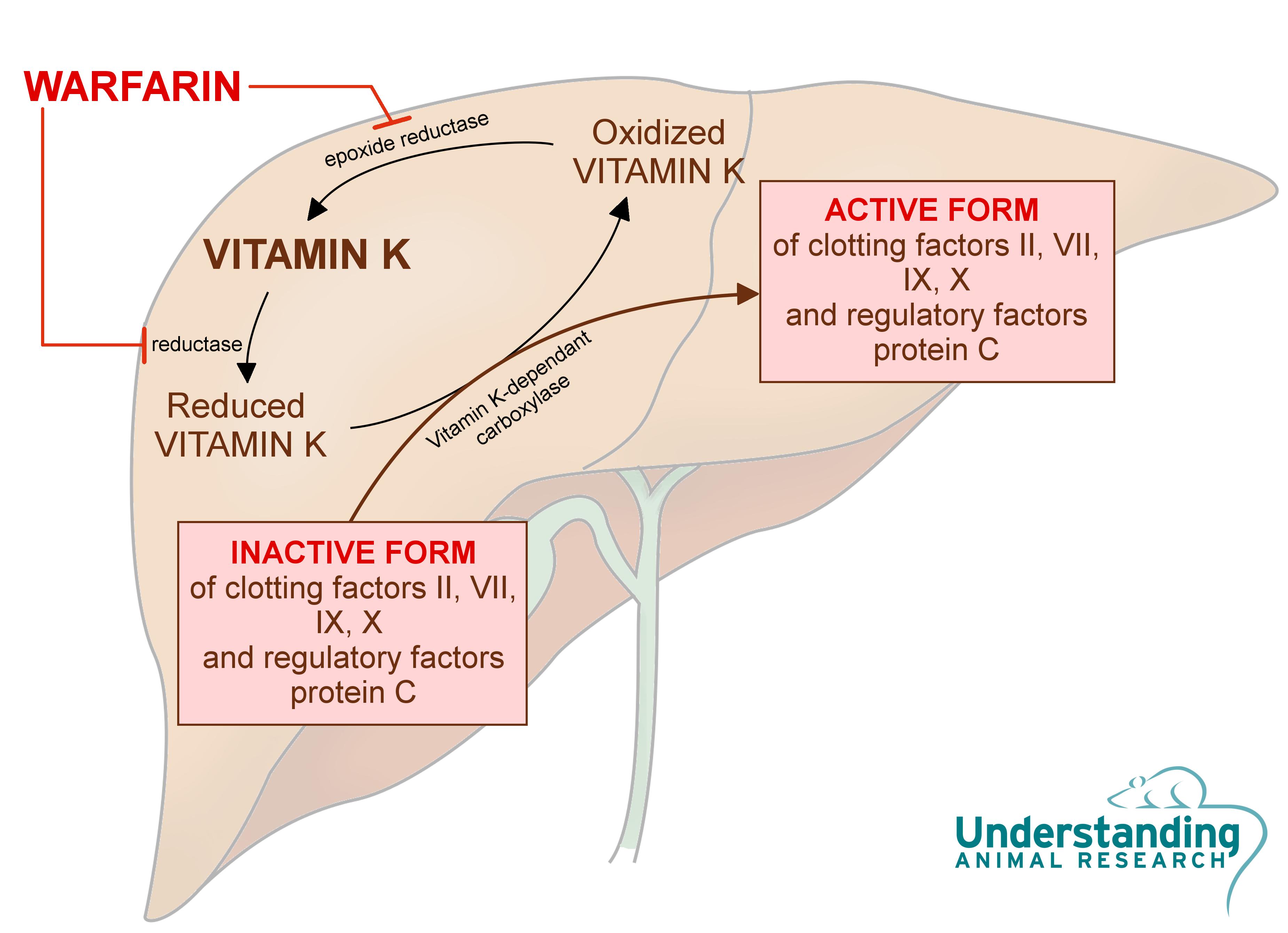 Fogyni, míg warfarin