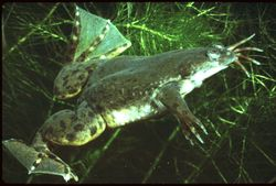 The african clawed frog (Xenopus laevis) was the first vertebrate to cloned in a laboratory