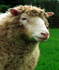 sheep cloning article