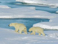 Polar bears in the Arctic can suffer toxic effects from chemical pollution that occurs thousands of miles away.