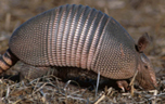 The lower body temperature of armadillos make them vulnerable to leprosy