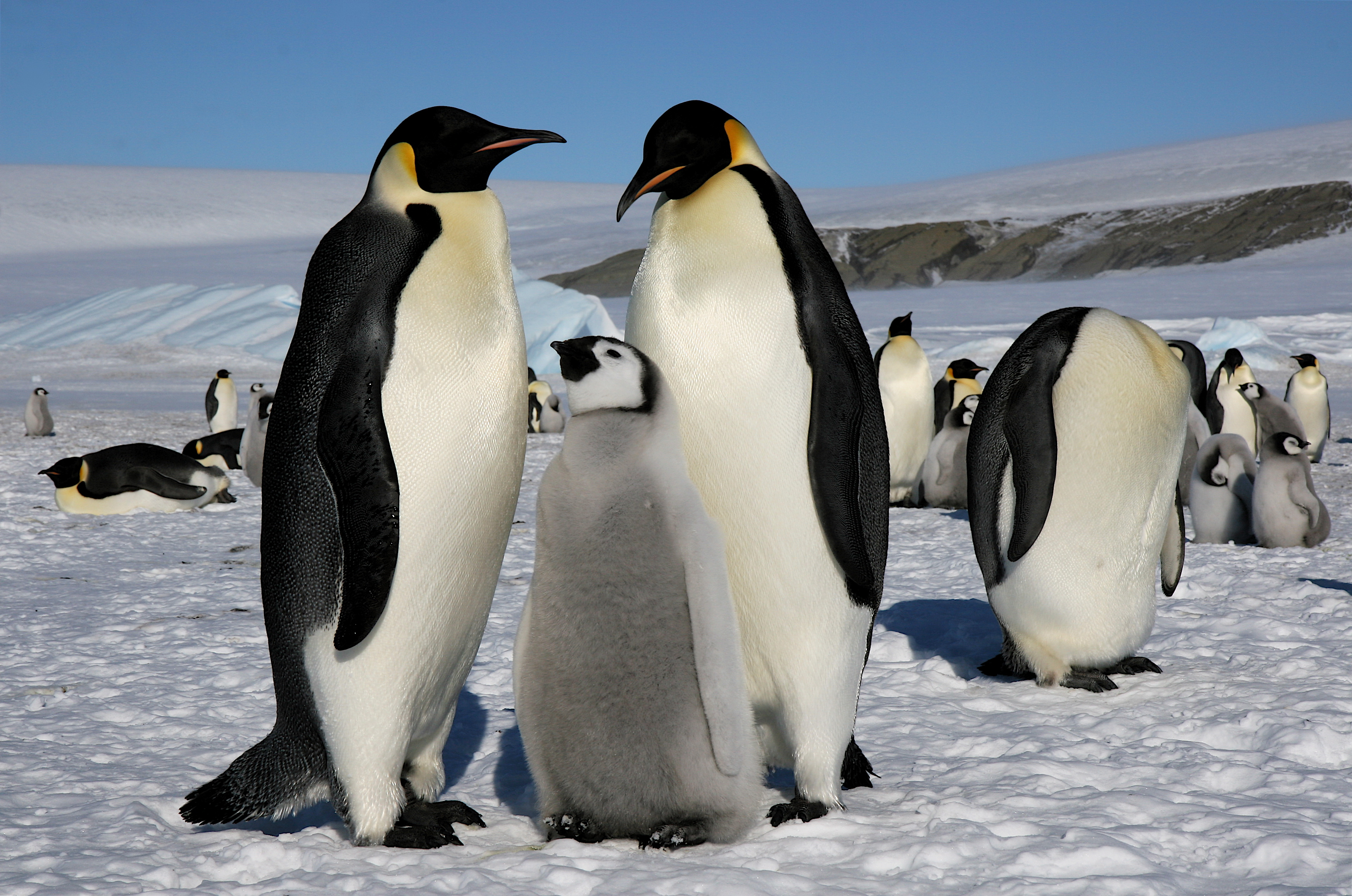 a research on emperor penguins The baby penguin robotic spy is these biologists' newest toy  the cutest trojan  chick to study the 'notoriously shy' emperor penguins.