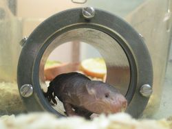 Naked mole-rats are being studied to better understand their resistance to cancer.